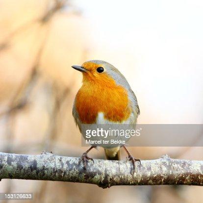 Perching robin
