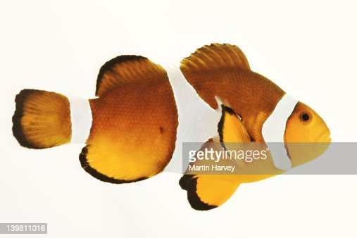 Percula Clownfish (Amphiprion percula) Tropical marine reef fish that use anemones as shelter and feeding ground. Against white background.