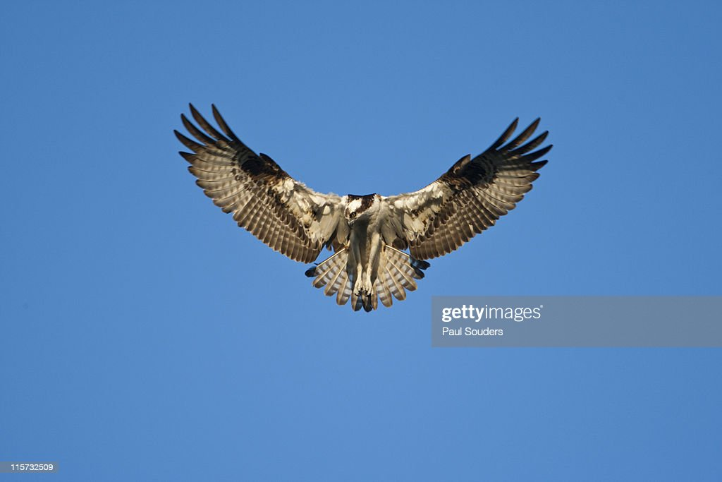 Peregrine Falcon, Acadia National Park, Maine : Stock Photo