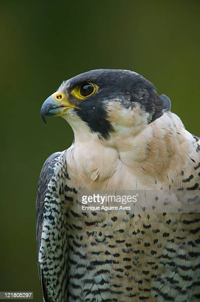 Peregrine Falcon (Falco peregrinus)-captive