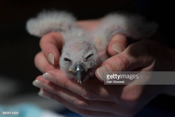 Peregrine Falcon chick is held before being fed at the ICBP on May 16 2016 in Newent England The ICBP is the oldest dedicated birds of prey centre in...