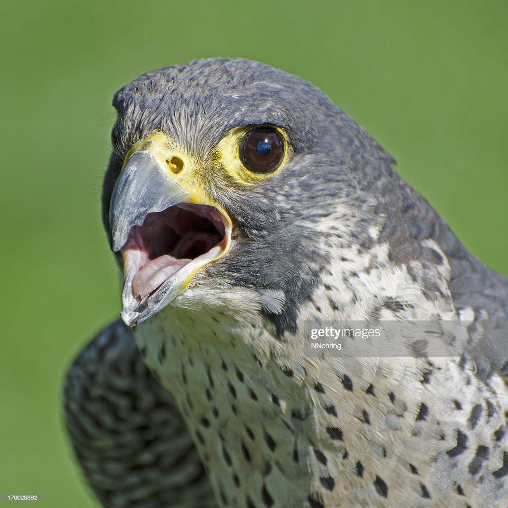 peregrine falcon, Falco peregrinus : Stock Photo