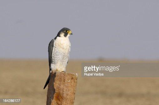 Peregrine Falcon (Falco peregrinus) - Falconidae : Stock Photo