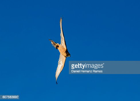 Peregrine falcon in flight against blue sky at sunset