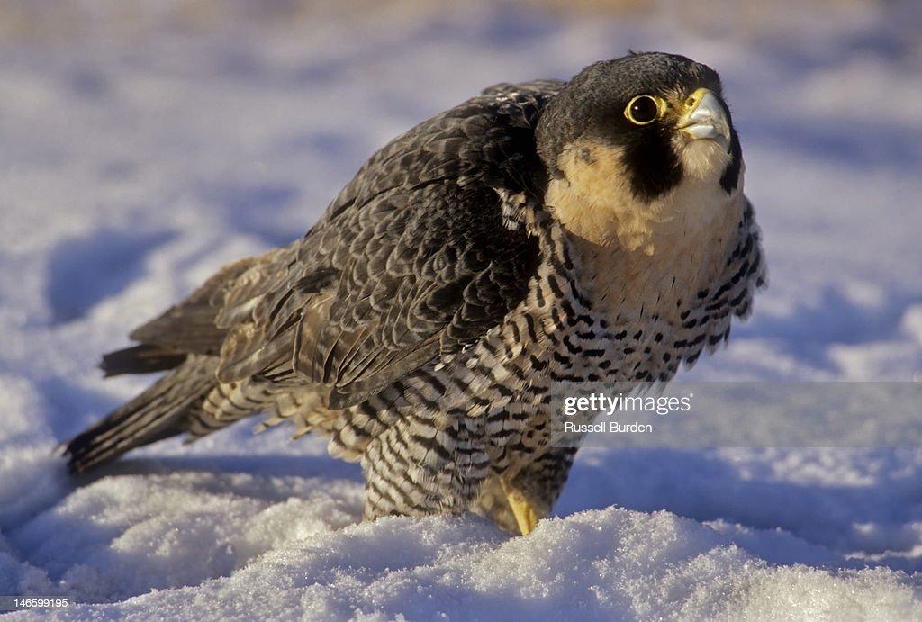 Peregrine falcon in snow : Stock Photo