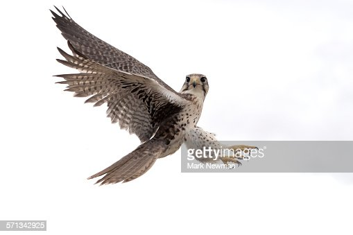 Hawk Bird Stock Photos and Pictures | Getty Images