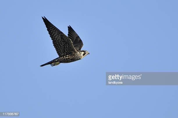 Peregrine Falcon Wings Up