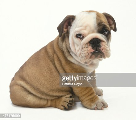 Perfect English bulldog