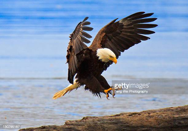 Perfect landing, bald eagle, Alaska