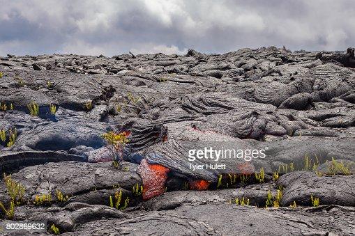Perfect Ohia Lehua flower defies lava : Stock Photo