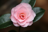 Perfect Pink Camellia.
