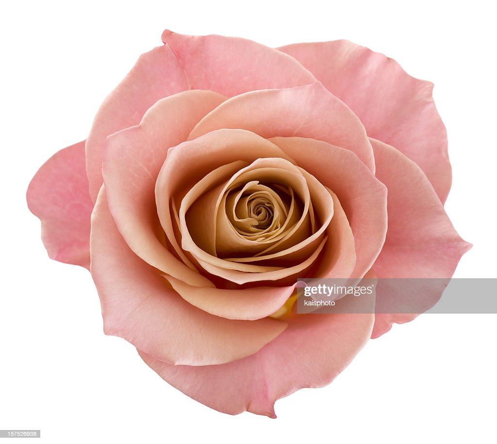Perfect pink rose : Stock Photo