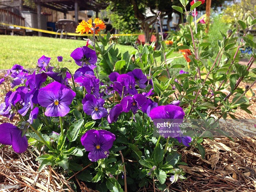 Perfect Purple! : Stock Photo
