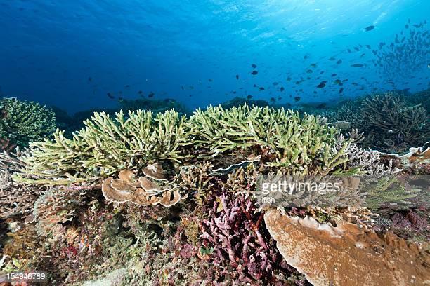 Parfait Corail bois de cerf au Siaba Kecil, Parc National de Komodo, en Indonésie