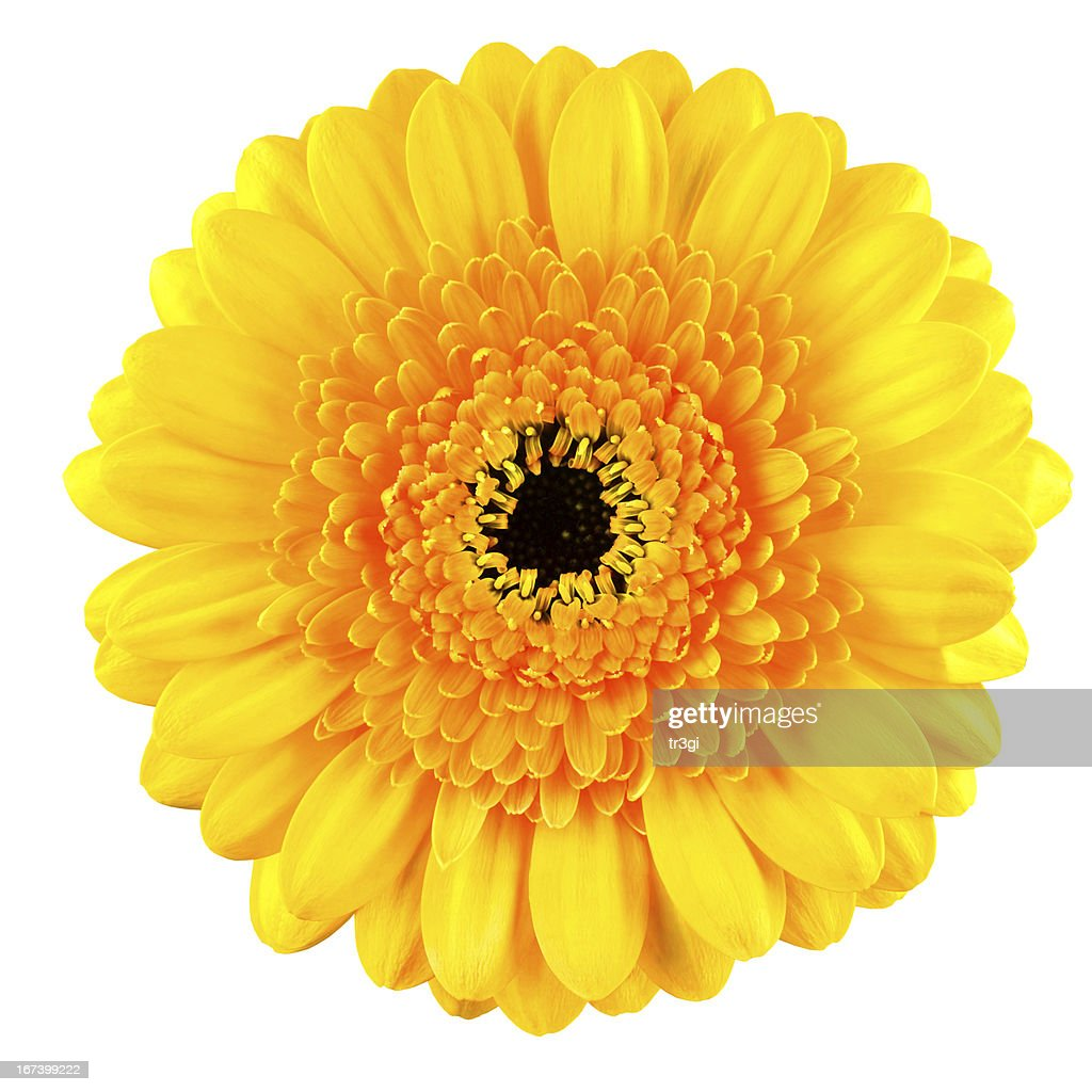 Perfect Yellow Gerbera Flower Macro Isolated on White : Stockfoto