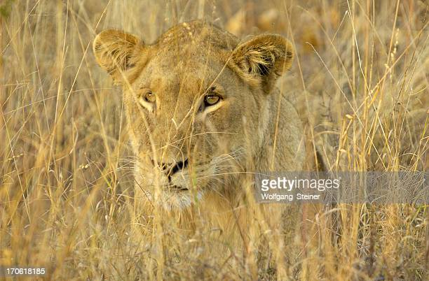 Perfectly camouflaged female lion