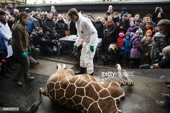 A perfectly healthy young giraffe named Marius was shot dead at Copenhagen zoo on Febuary 9 2014 despite an online petition to save it signed by...