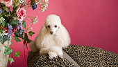 A sophisticated poodle poses on the arm of a leopard skin fainting couch with an elegant flower arrangement next to her. She looks completely comfortable among the elegant surroundings. Pinkish or red