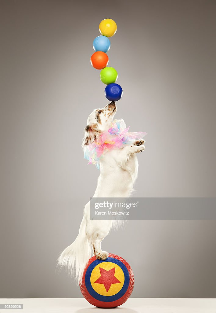 Performing dog balancing balls on nose : Stock Photo