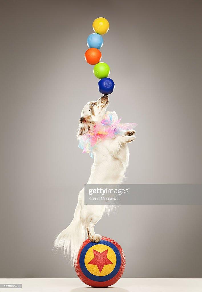 Performing dog balancing balls on nose