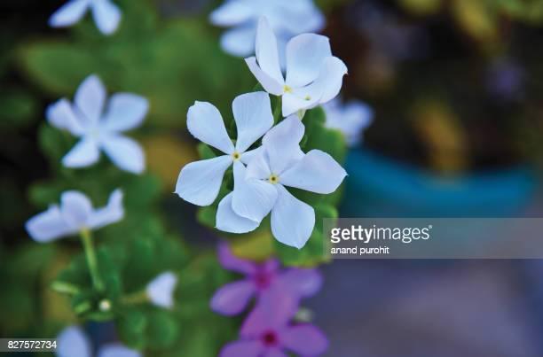 Periwinkle or Vinca rosea or Baramasi flower plant, india