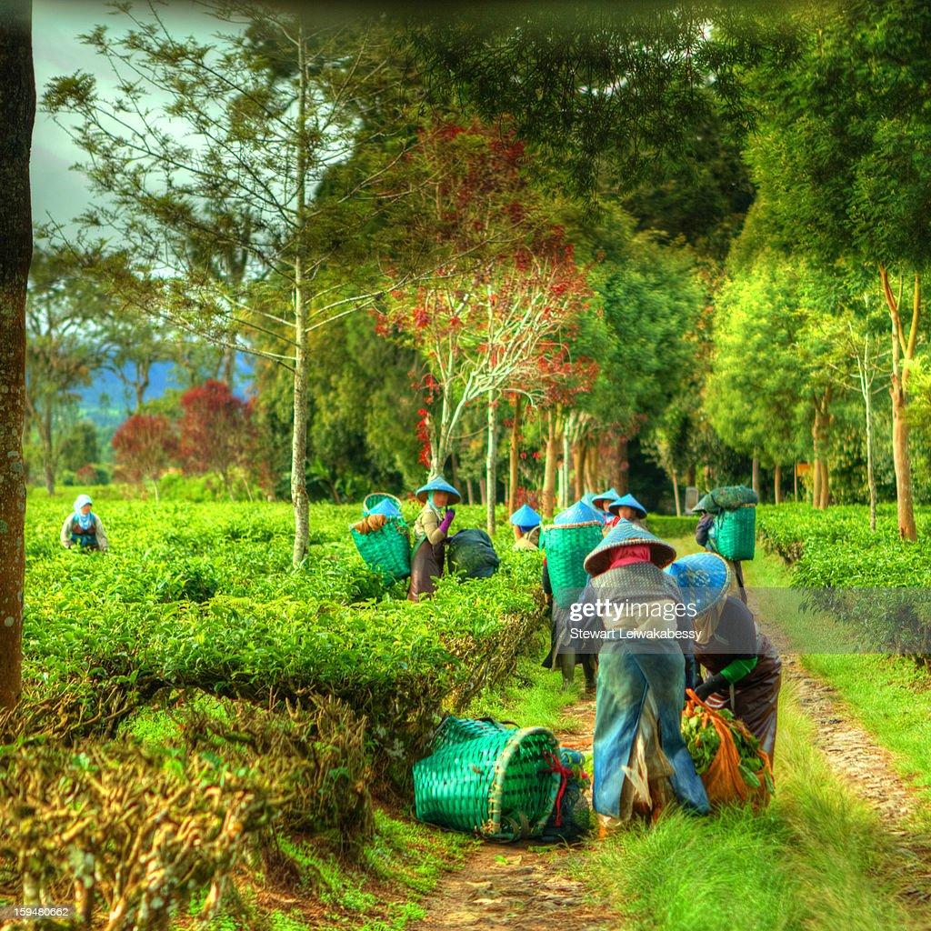 Perkebunan Malabar (Malabar Tea Plantation) : Stock Photo