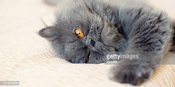 Persian cat laying in bed