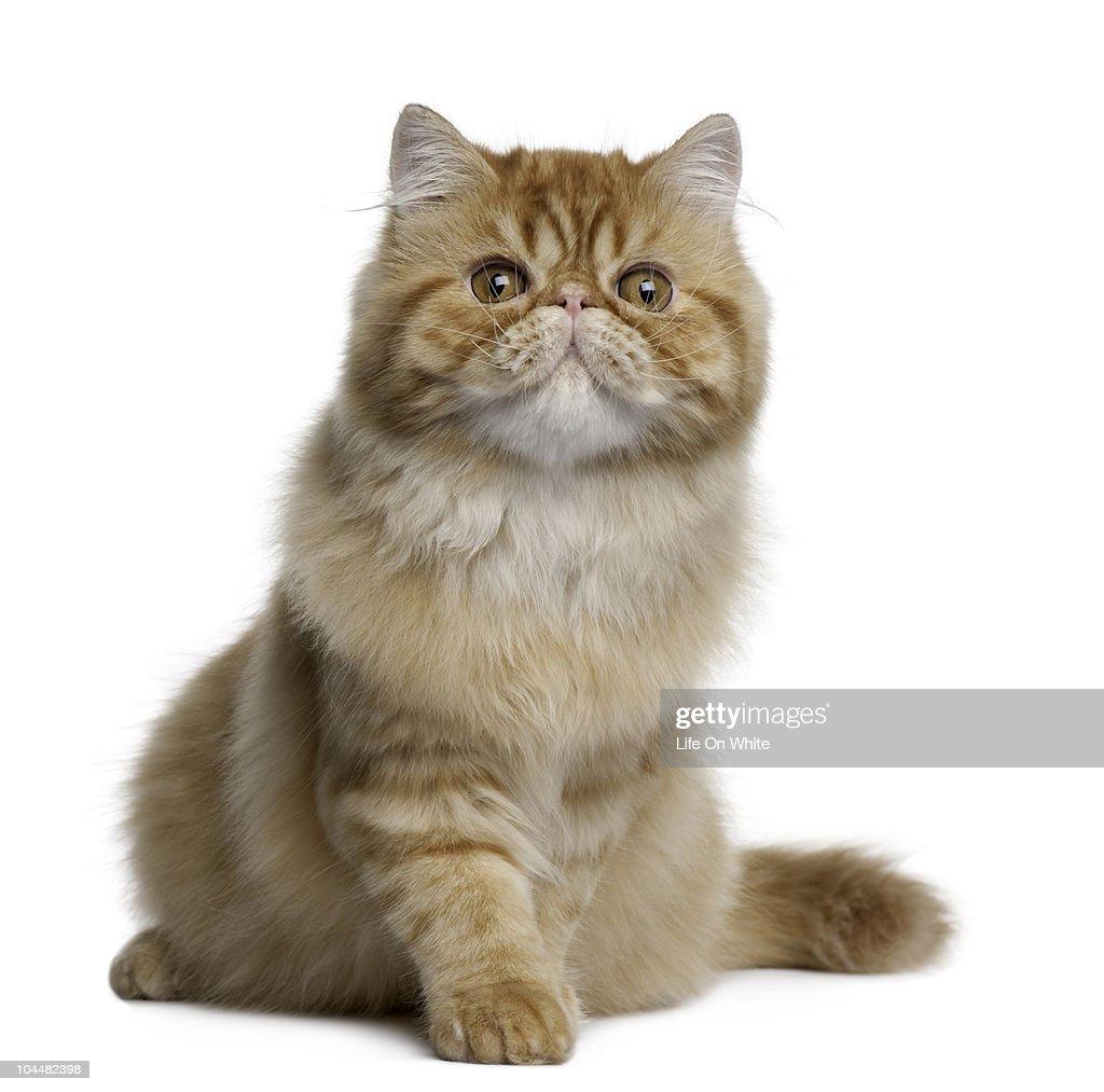 Persian cat : Stock Photo