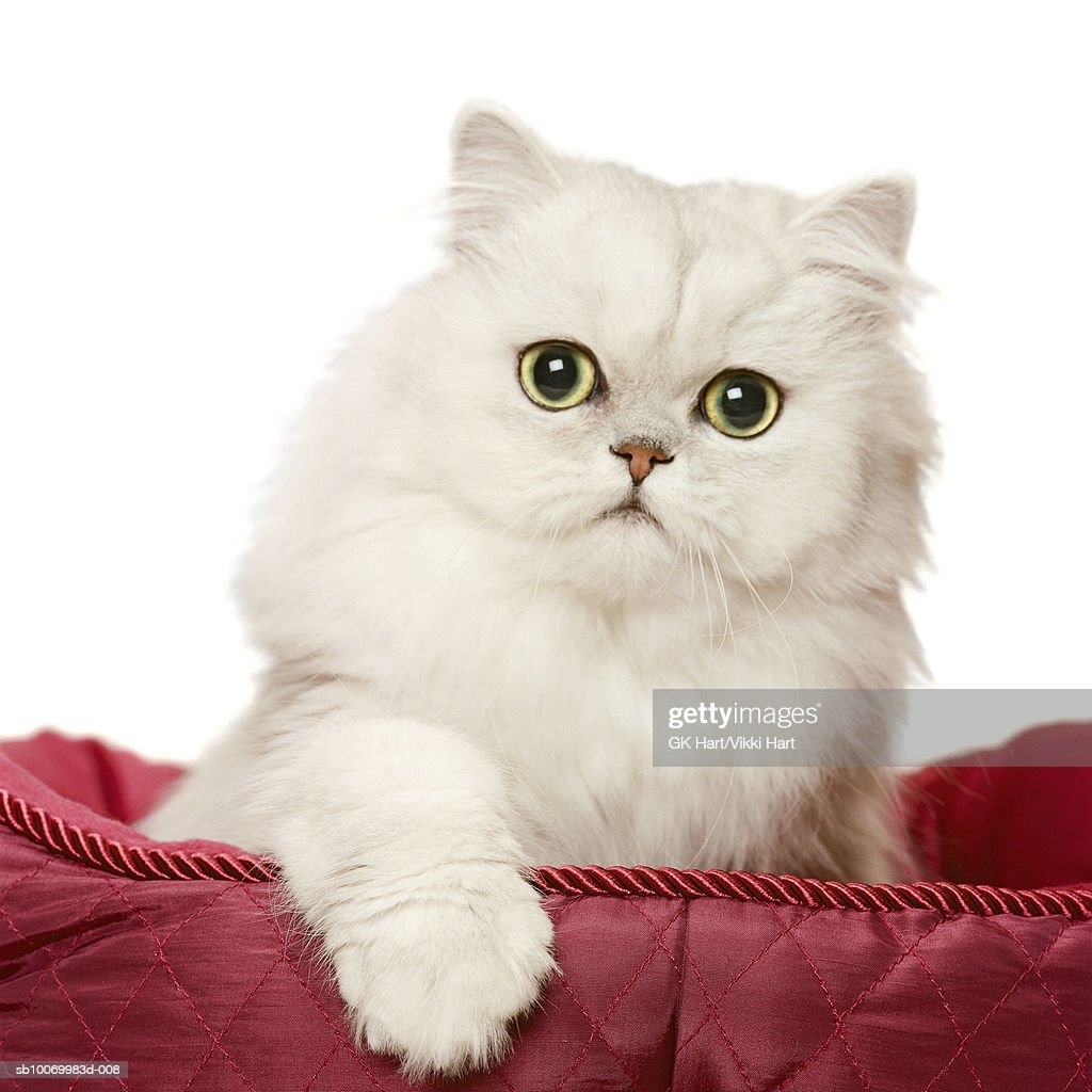 Persian cat playing in red satin bed, close-up : Stock Photo