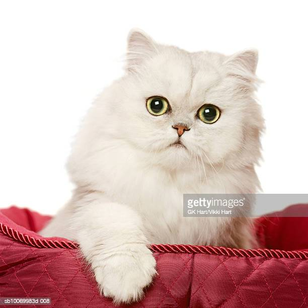Persian cat playing in red satin bed, close-up