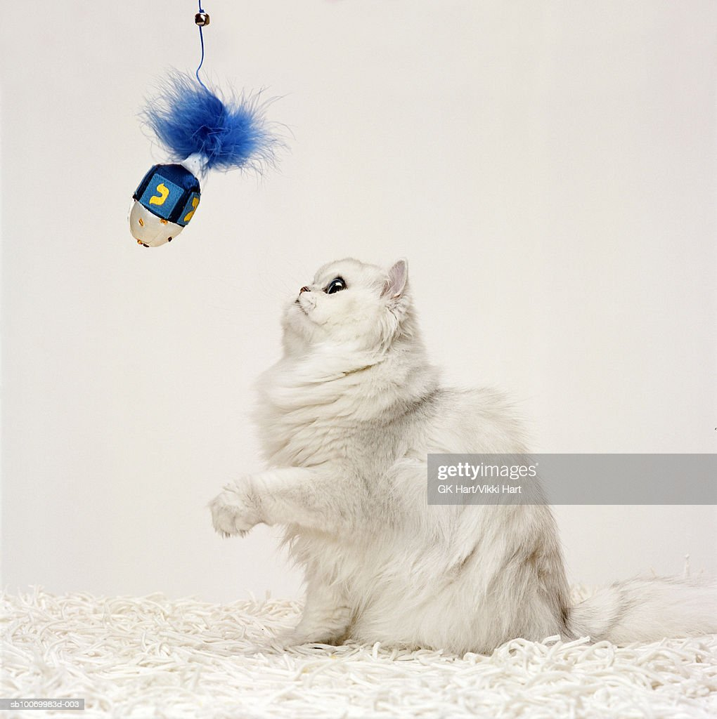 Persian cat playing with dreidel