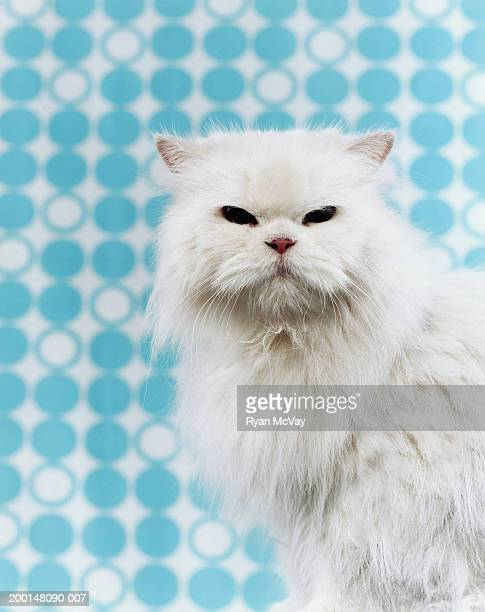 Persian cat, portrait