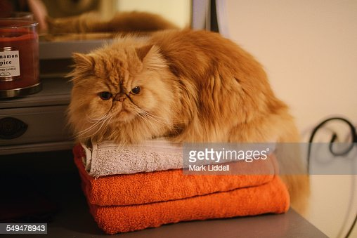 Persian cat resting on a pile of towels