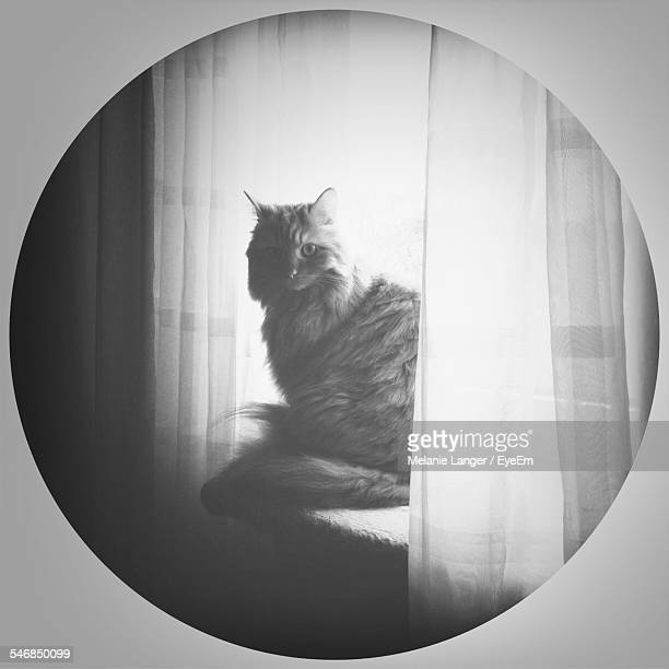 Persian Cat Sitting At Window Near Curtains