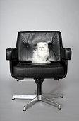 Persian cat sitting in studio