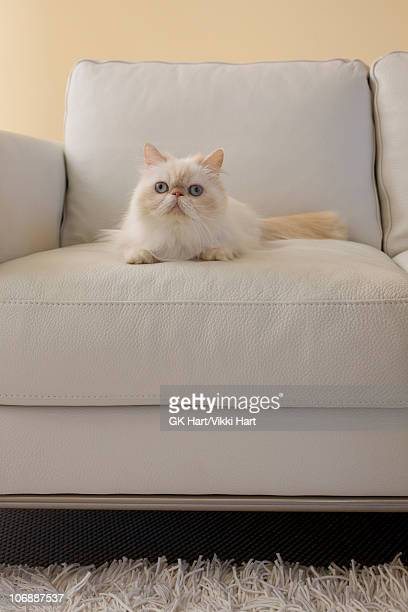 Persian Cat sitting on white couch