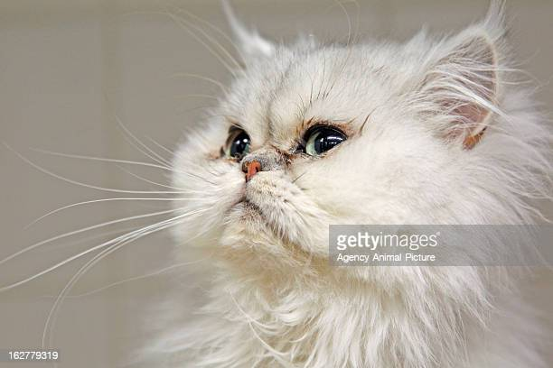 Persian cat with an infusion in an animal clinic on February 23 2011 in Munich Germany