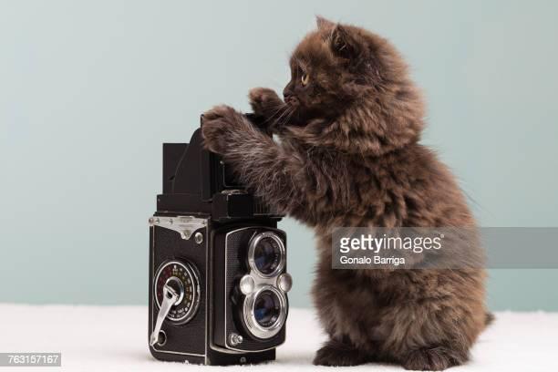 Persian kitten investigating camera