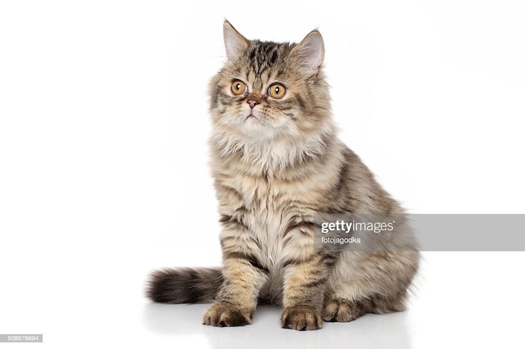Persian kitten on white background : Stock Photo