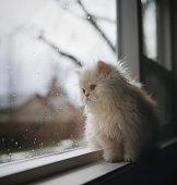 Persian Kitten Sitting At Window