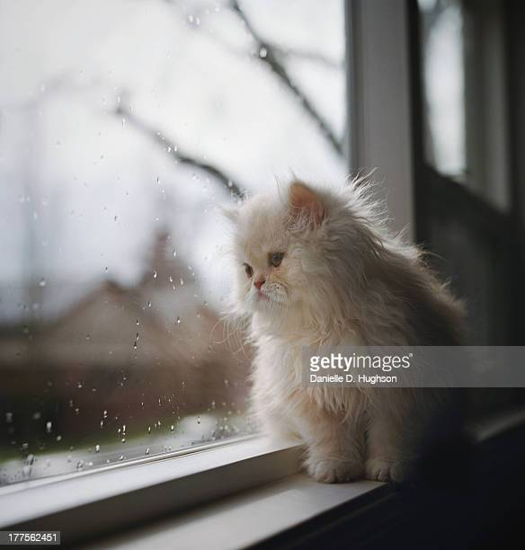 Persian Kitten Sitting At Window