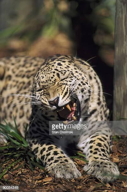 persian leopard panthera pardus snarling, lowry park zoo, florida.