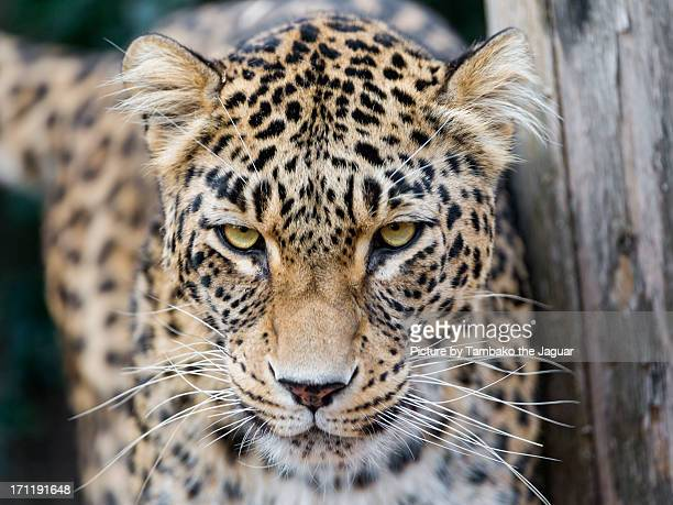 Persian leopard with pretty eyes