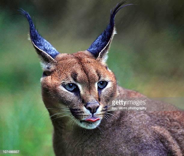 Persian Lynx