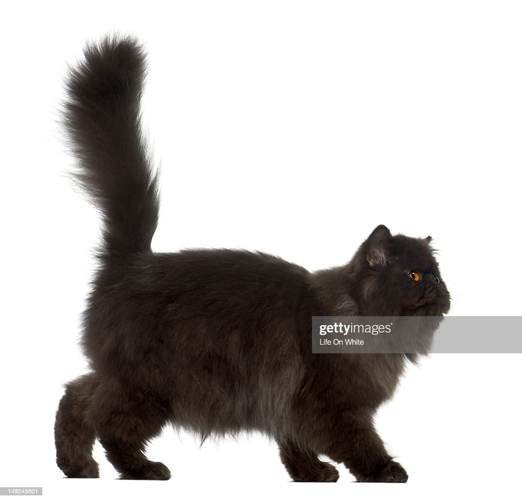 Persian (7 months old) : Stock Photo