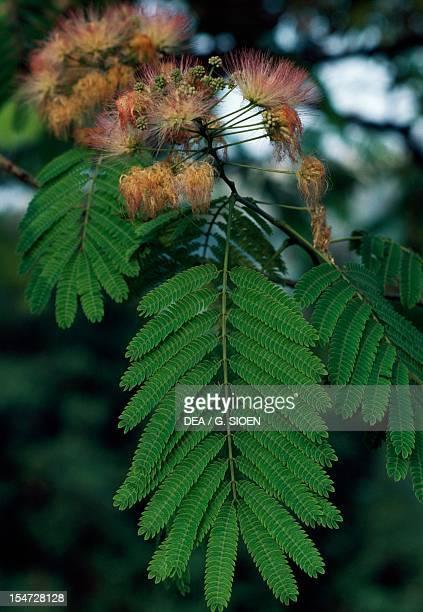 Persian Silk Tree FabaceaeLehuminosaeMimosoideae