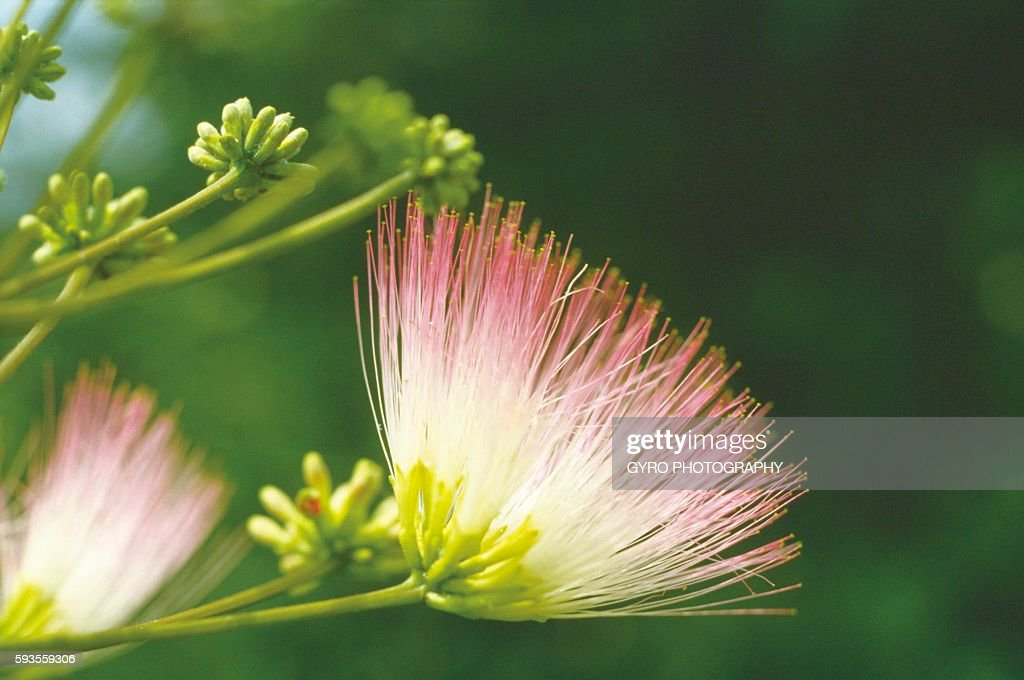 Persian Silk Tree Flower