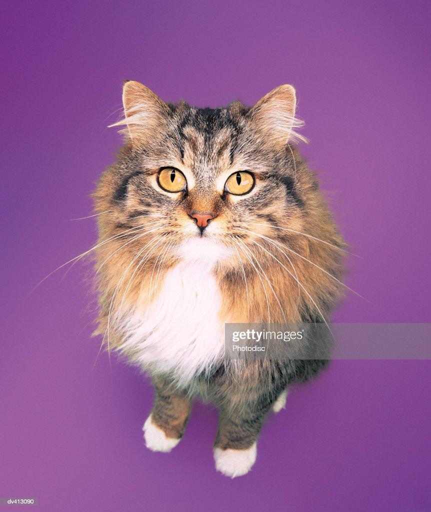 Persian Tabby : Stock Photo