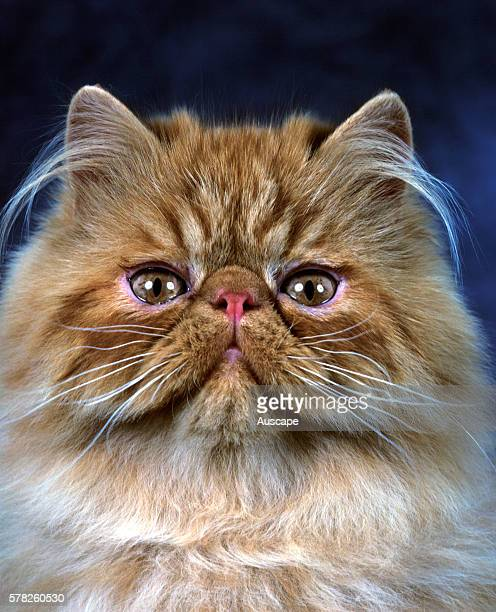Persian Unicolor cat Felis catus showing snub nose and long ear whiskers Studio photograph