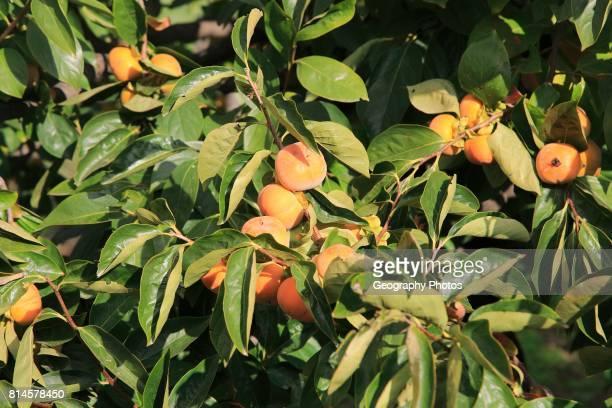 Persimmon Diospyros kaki or Sharon fruit growing on tree Marina Alta Alicante province Spain